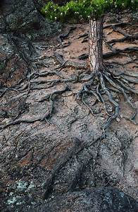 Pine Tree Roots Photograph by Mikhail Maksakov