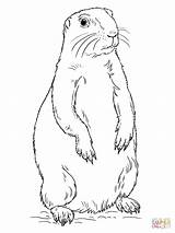 Prairie Dog Coloring Drawing Printable Standing Illinois Sheet Tags sketch template