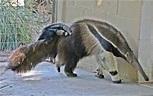 Amazon Rainforests Animals : The Giant Anteater ~ Amazon ...