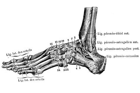 The muscles at the top of the foot fan out to supply the individual toes. The 19 Muscles Of The Foot - Muscles Of The Foot Dorsal ...