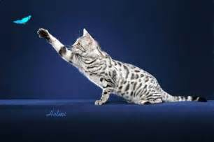 white bengal cat cool pets 4u white bengal cats pictures and wallpapers