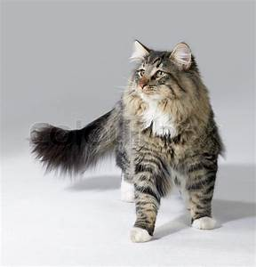 Tabby Norwegian Forest cat | Stock Photo | Colourbox