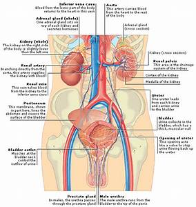 Medical Encyclopedia - Structure  Urinary System