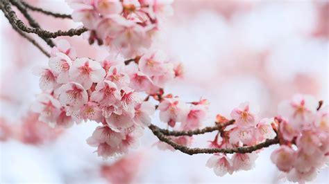 fondos de pantalla  floracion de arboles en gran