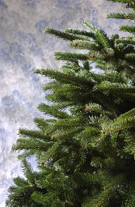 christmas trees stay tree pine pot pots vanderwolf ground go ketchum hg oregonlive spruce lynn holidays