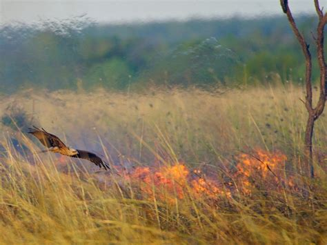 birds in australia have learned to start bush fires to