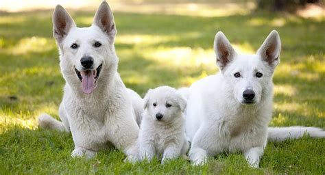 white german shepherd dog  complete guide   snowy