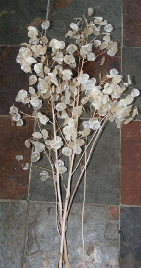 honesty silver penny seed heads