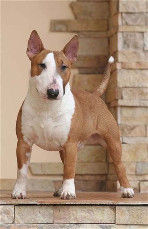 miniature bull terrier history personality appearance