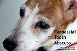 2016vets: 12. Dental disease. A 13-year-old Jack Russell ...