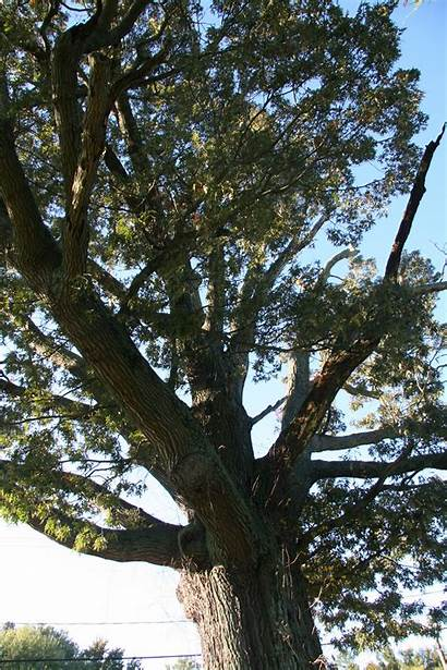 Oak Southern Tree Delaware Trees Deciduous Delawaretrees