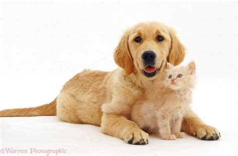 Pets Golden Retriever Pup With Pale Ginger Kitten Photo