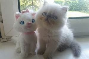 SOLD!!!GCCF LILAC POINT PERSIAN KITTENS | St Helens ...