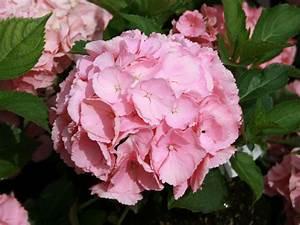 Hydrangea Macrophylla Winterhart : ballhortensie 39 pink sensation 39 hydrangea macrophylla ~ Michelbontemps.com Haus und Dekorationen