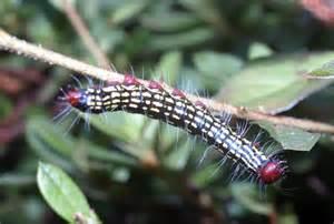 Arkansas Caterpillars Identification