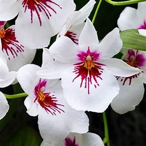 Comment Soigner Une Orchidée : comment entretenir une orchid e miltonia aquarelle ~ Farleysfitness.com Idées de Décoration