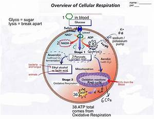 Cellular Respiration And Photosynthesis Blank Diagram