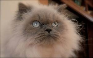 current affairS: Himalayan cat