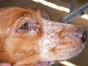 Canine leishmaniasis leishmaniosis leishmaniose | Flickr ...