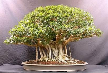 Bonsai Tree Wallpapers Trees Plants
