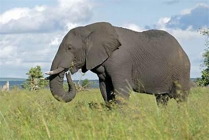 Elephant African Trunk Elephants Male Loxodonta Africana