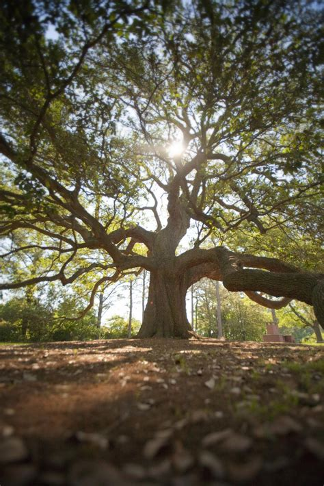 emancipation oak      iconic trees  virginia