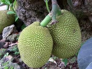 Arbre A Fruit : fruit de l arbre a pain ~ Melissatoandfro.com Idées de Décoration