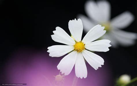 Download wallpaper Chamomile, White, petals free desktop ...