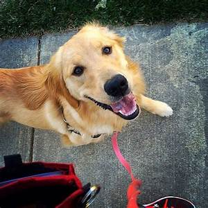 best 25 guide dog training ideas on pinterest dog With dog walking services near me