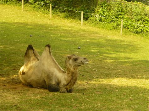 Paignton Zoo Bactrian Camel By Yaschaeffer On Deviantart