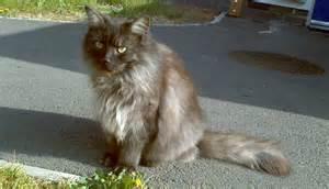 friendliest cat breeds the kitty s corner friendliest cat breeds
