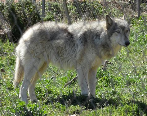 wolf hybrid black wolf hybrid puppies for sale south africa