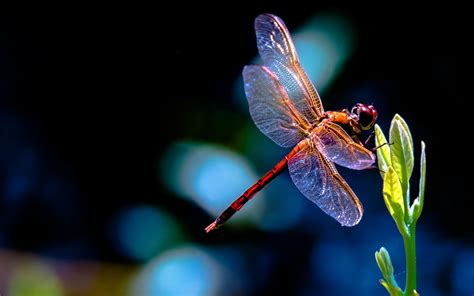 Animated Fly Wallpaper - dragonfly screensavers and wallpaper 43 images