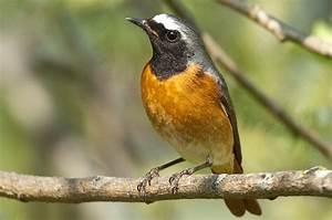 Vogel Mit Roter Brust : birds vogelarten singv gel gartenrotschwanz ~ Eleganceandgraceweddings.com Haus und Dekorationen