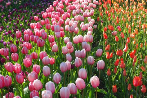 Britzer Garten Bimmelbahn by Tulipan Im Britzer Garten Tulpen Parade In Berlin