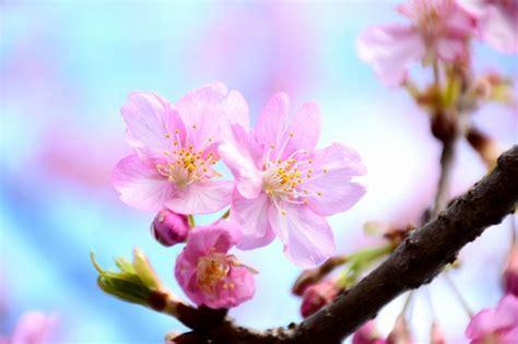 17 best images about cherry 17 best images about cherry blossoms in ichikawa 市川市の桜 お花見