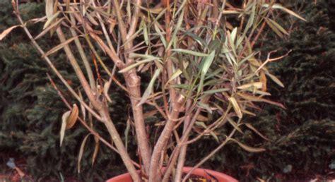 krebs spinnmilben und laeuse  oleander