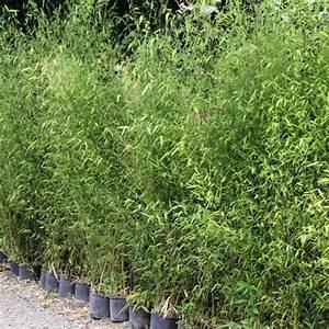 Bambou Pour Haie Brise Vue : lot de bambous phyllostachys pour haie d corative ~ Premium-room.com Idées de Décoration