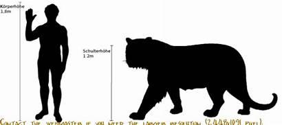 Tiger Tigers Bengal Comparison Compared Dragon Africa