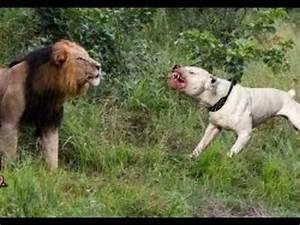 Dog Vs Lion Fight | www.pixshark.com - Images Galleries ...