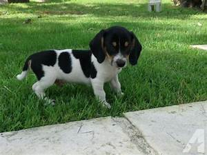 Beagle mini Dachshund Mix 8 weeks for Sale in Bastrop ...