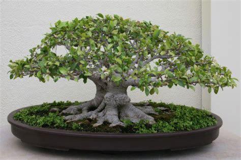 ficus ginseng bonsai ginseng ficus the bonsai tree for the beginner dengarden