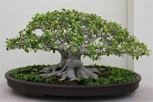 Bonsai Ficus Ginseng : ginseng ficus the perfect bonsai tree for the beginner dengarden ~ Buech-reservation.com Haus und Dekorationen