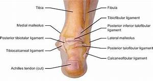 Ligaments Of Right Foot  Posterior View   26