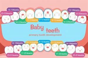 Simple Human Teeth Diagram