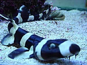 cat shark bamboo shark fishes