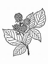 Coloring Blackberry Berries Printable Recommended sketch template