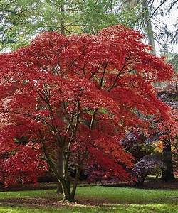Emperor One Japanese Maple Tree | Seedling & Sprout | Wish ...