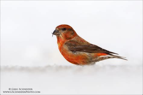 red crossbill male on snow