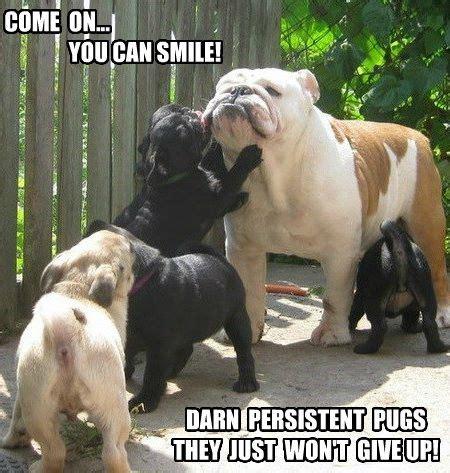 Bulldog Meme - funny pug dog meme pug puppies vs bulldog part 2 old english bulldog pinterest puppys